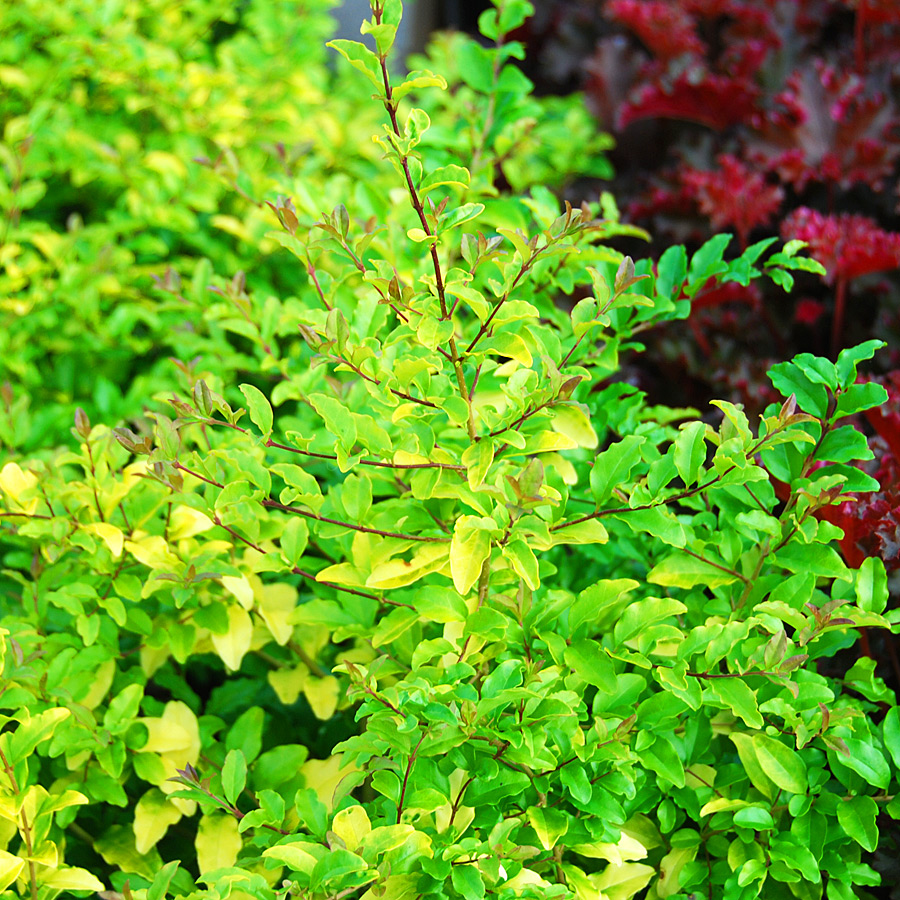 Ligustrum 'Lemon & Lime'