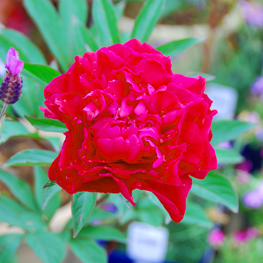 paeonia_red.jpg