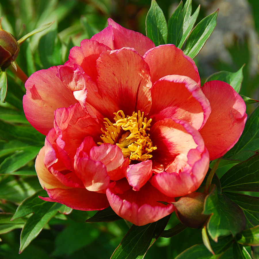 paeonia_x_kopperkettle.jpg