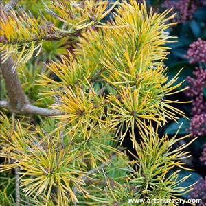 Pinus sylvestris 'Gold Coin'