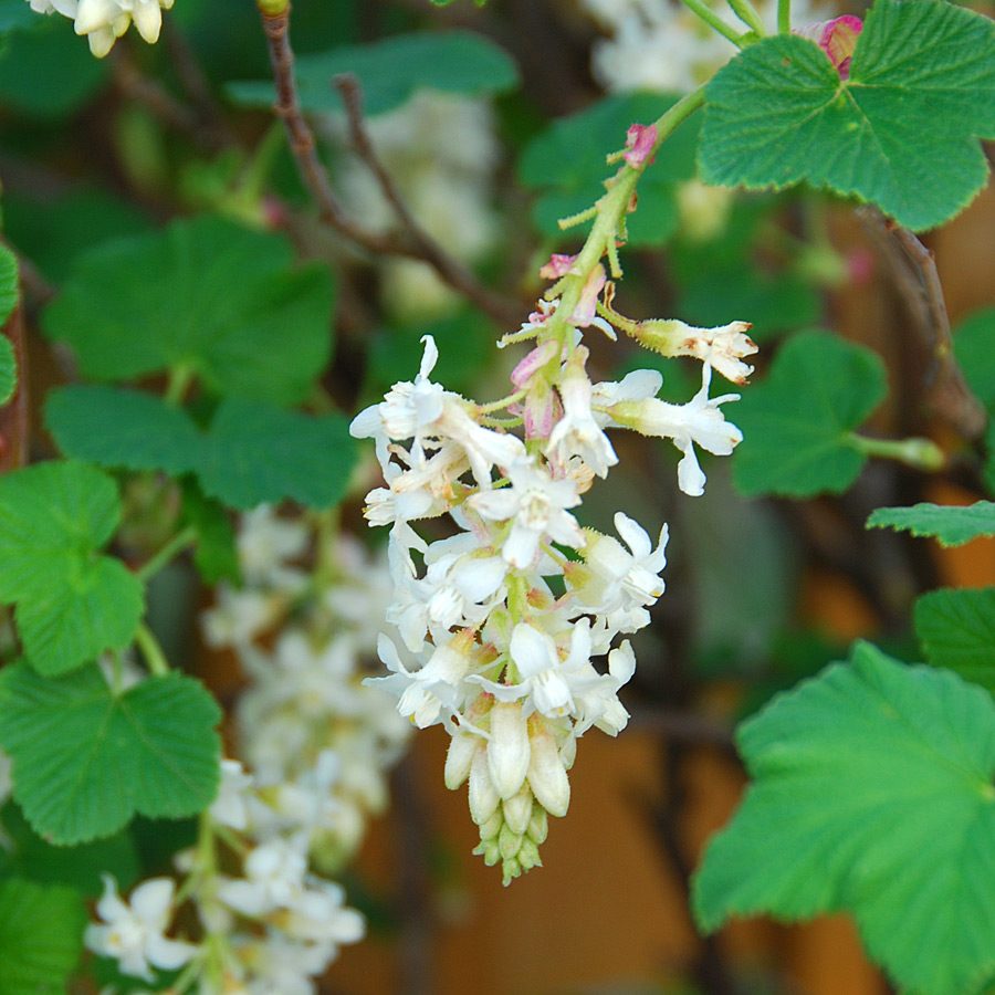 Ribes sanguineum 'White Icicle'
