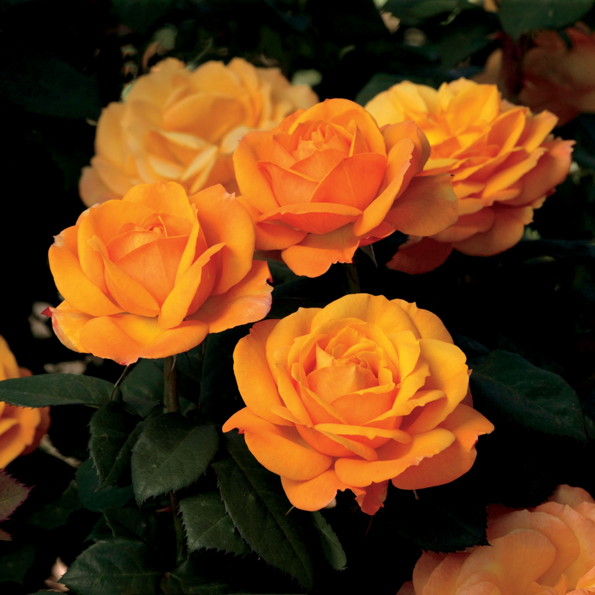 Rosa 'Good as Gold'