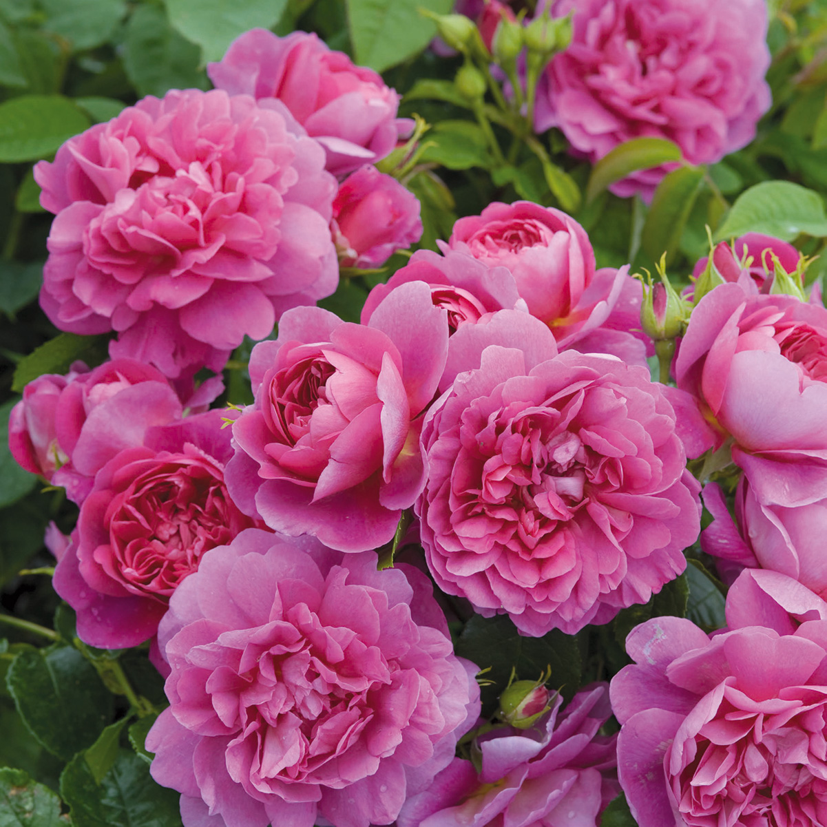 Rosa 'Princess Anne'