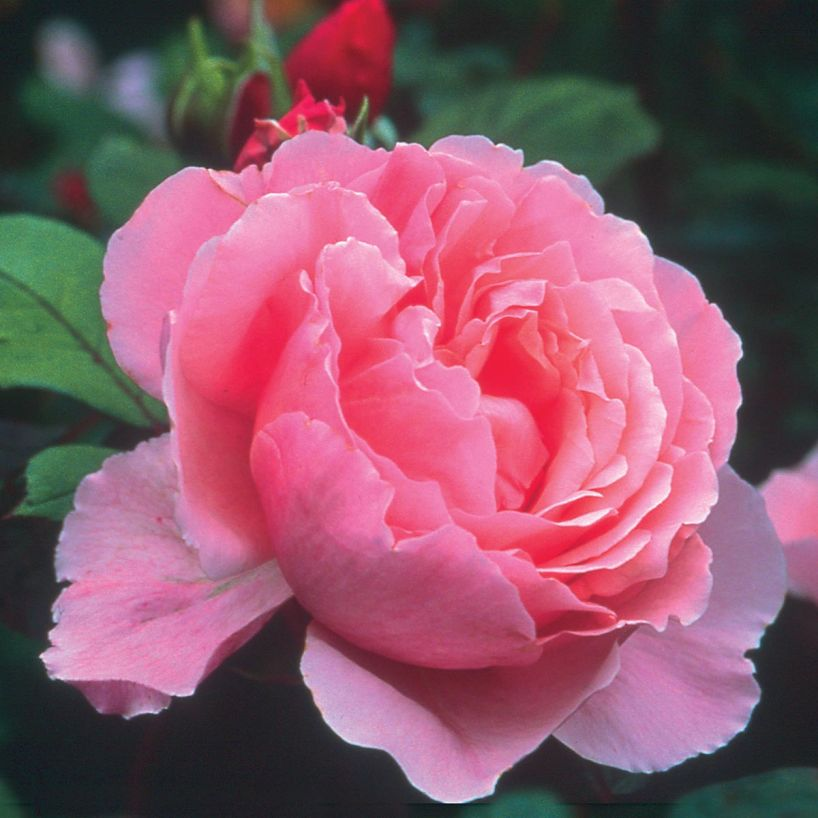 Rosa 'Brother Cadfael'