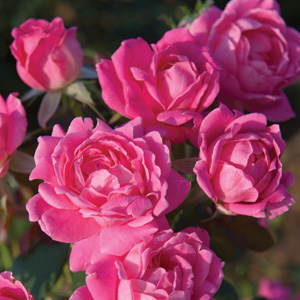 Rosa 'Pink Double Knock Out'