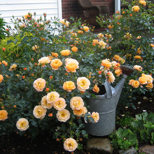 Rosa 'Flower Carpet Amber'