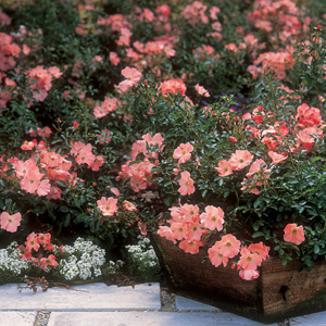 Rosa 'Flower Carpet Coral'