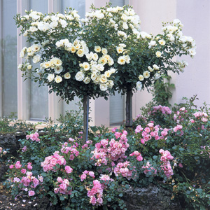 Rosa 'Flower Carpet White' TF