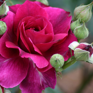 Rosa 'Intrigue'