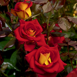 Rosa 'Ketchup and Mustard'