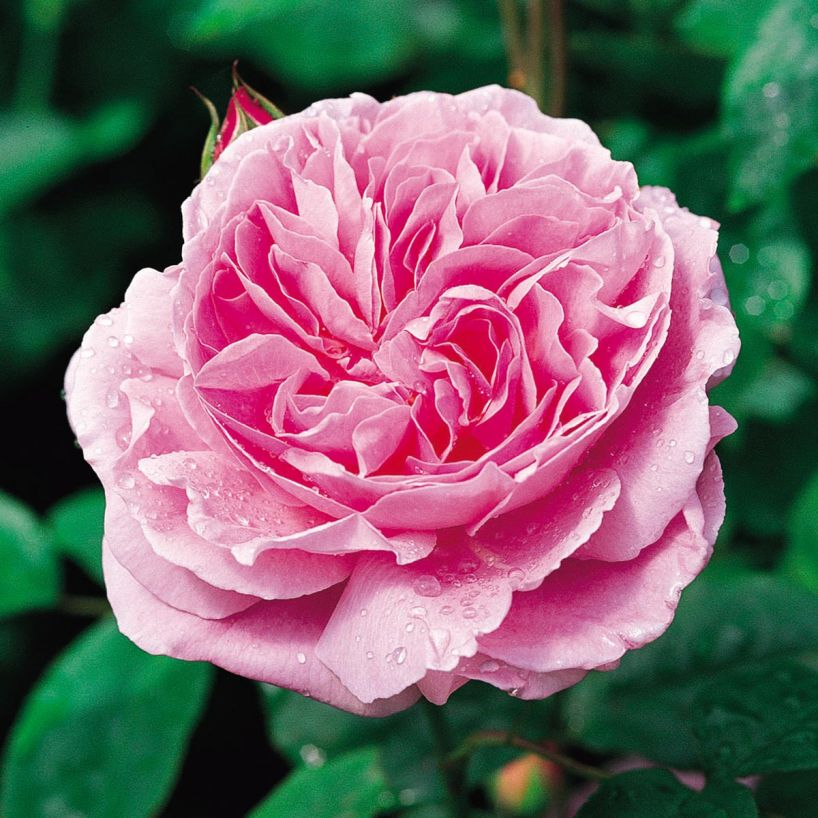 Rosa David Austin 'Mary Rose' TF