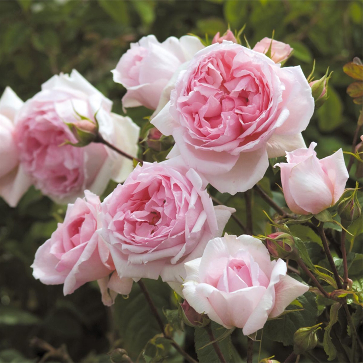 Rosa 'The Wedgewood Rose'