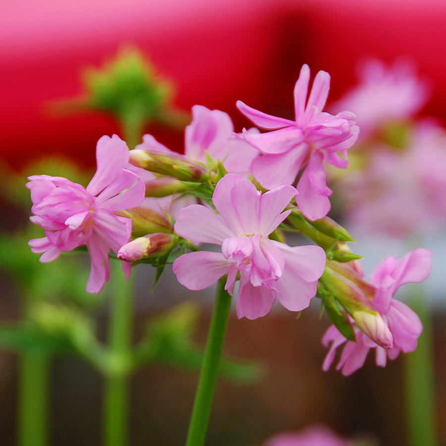 Saponaria officinalis 'Rosea Plena'
