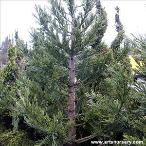 Sequoiadendron giganteum 'Powder Blue'