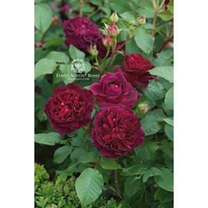 DA_Rose_Munstead_Wood_1200px.jpg