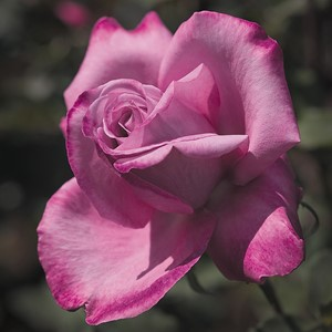 rosa_Fragrant_Plum.jpg