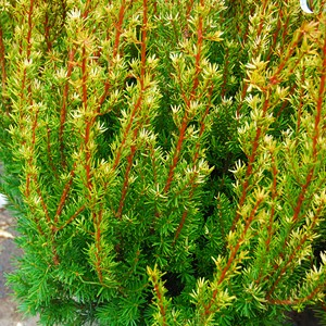 Taxus x media 'Hubers Tawny Gold'