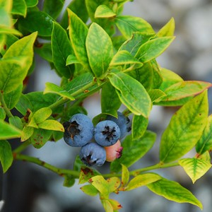 Vaccinium 'Top Hat'