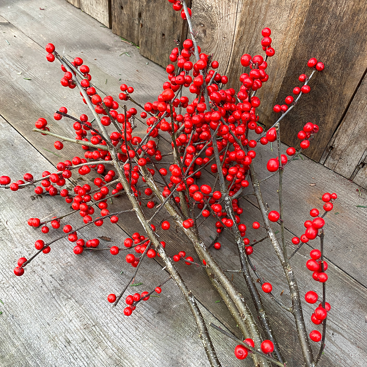 Christmas Greens - Deciduous Holly 5 Long Stems